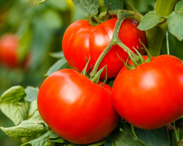 「温室蔬菜大棚」如何调控温湿度,促进蔬菜快速增长?