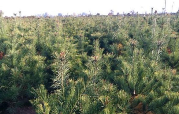 选择白皮松小苗和其他绿化苗木的几点注意事项 养护知识 第1张