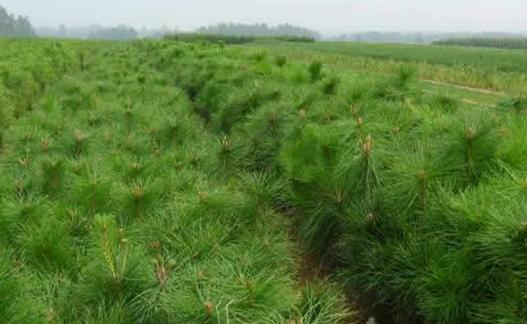 陕西白皮松基地分享树木的生命周期是什么 养护知识