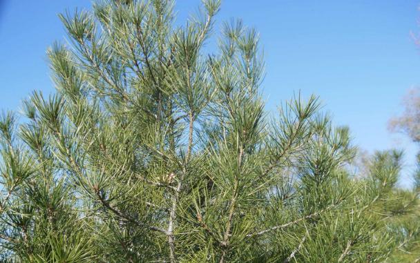 白皮松适合在夏季种植吗?都要注意哪些地方? 养护知识 第1张