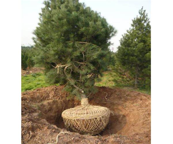 3米白皮松价格苗木
