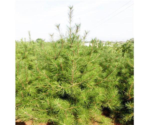 2米白皮松树价格