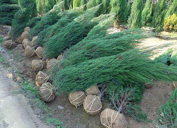 白皮松苗木的价格是由哪些因素来决定? 养护知识 第2张