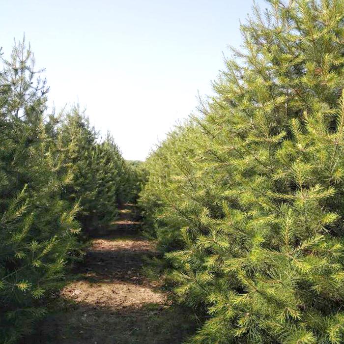 4米白皮松樹價格