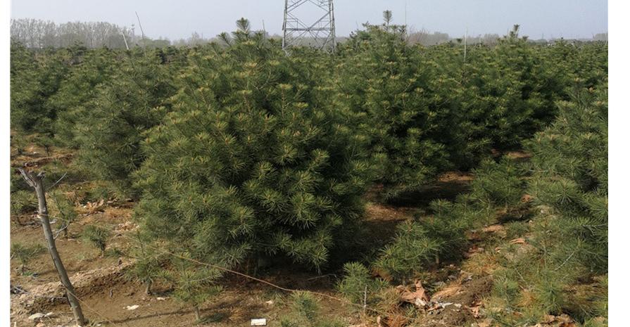 2米白皮松樹價格