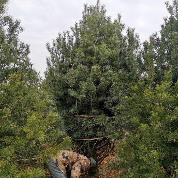 蓝田白皮松苗木的基本分类 养护知识 第1张
