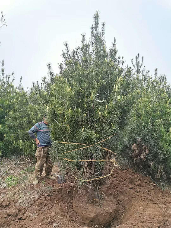 3米白皮松多大土球適合栽種?