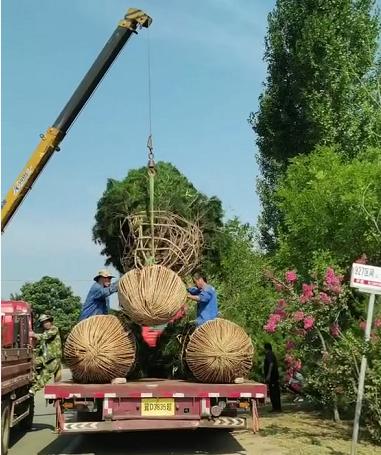 在雨季使用白皮松農藥的注意事項