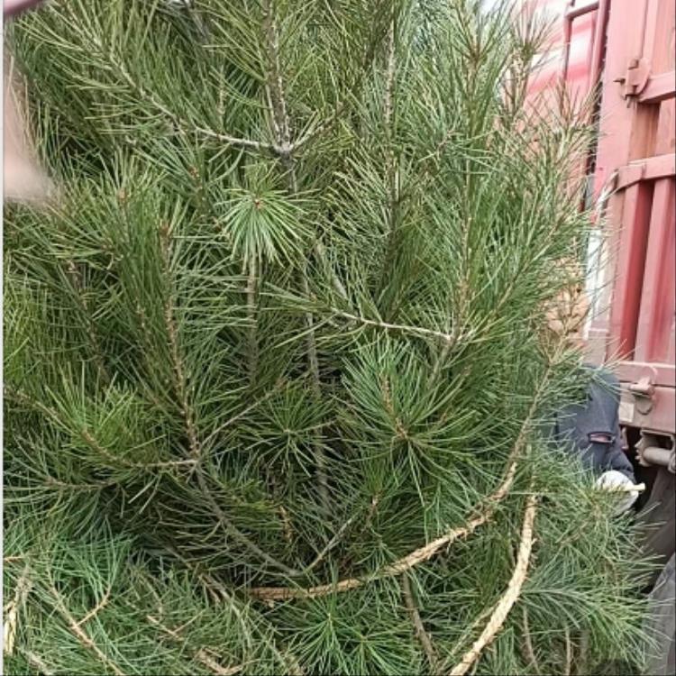 蓝田白皮松造型树的发展趋势介绍
