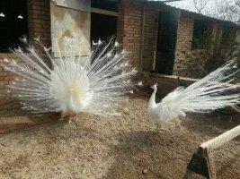 陕西白孔雀