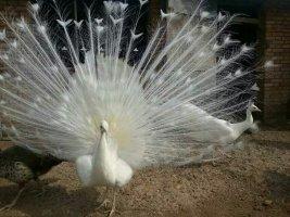 陕西孔雀养殖