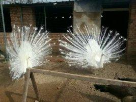 小型白孔雀