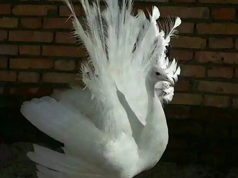 西安白孔雀养殖