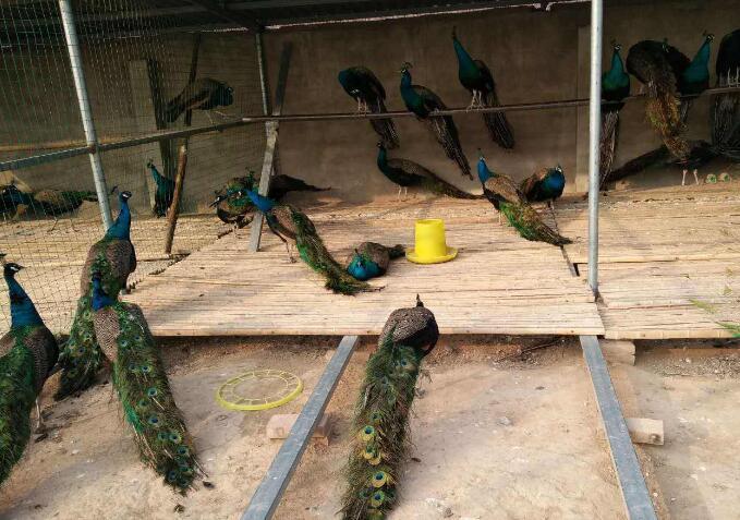 陕西蓝孔雀