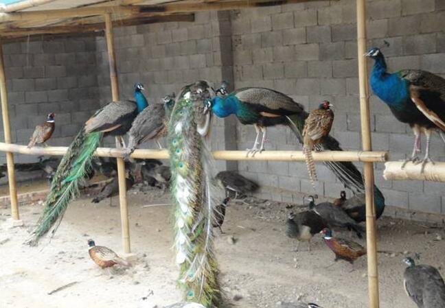 孔雀养殖基地