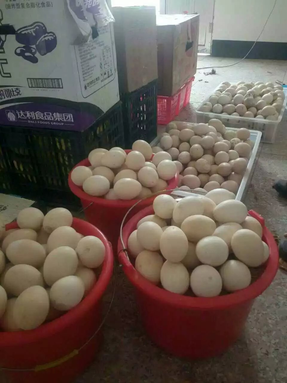 陕西孔雀蛋