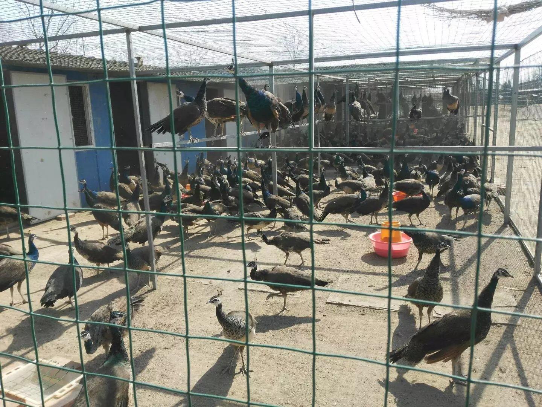 蓝孔雀养殖场展示