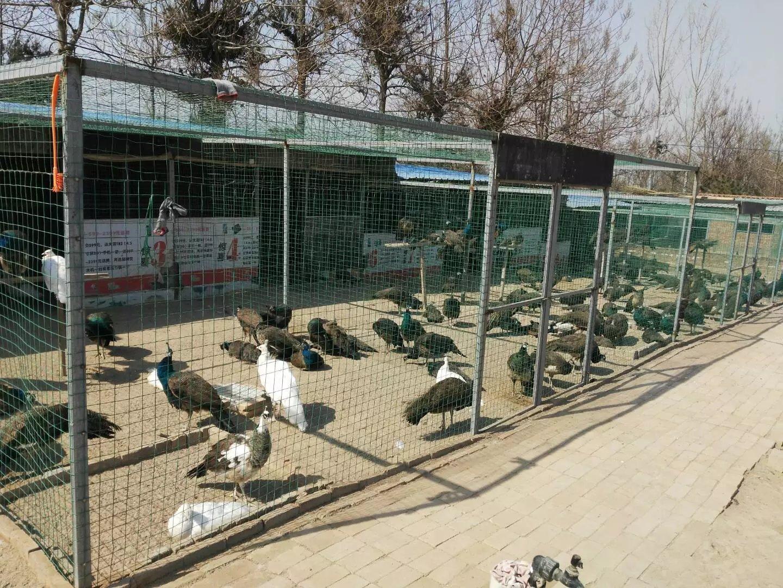 白孔雀养殖场