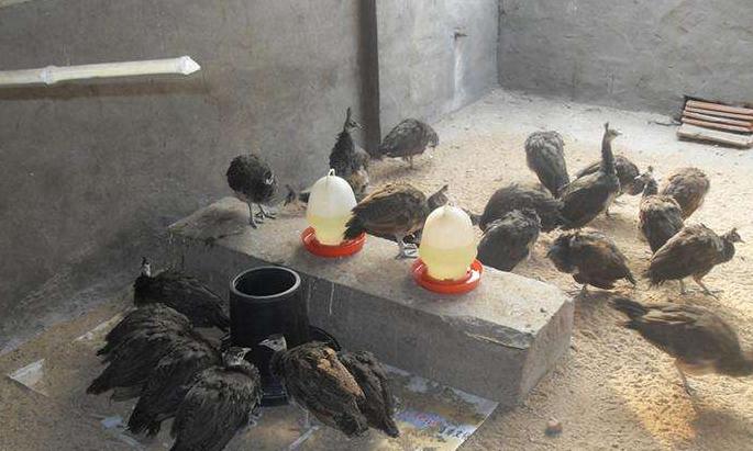 陕西孔雀幼苗出售