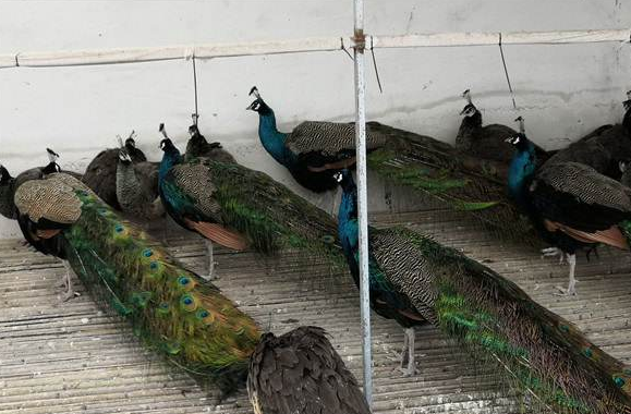 陕西孔雀种蛋孵化基地