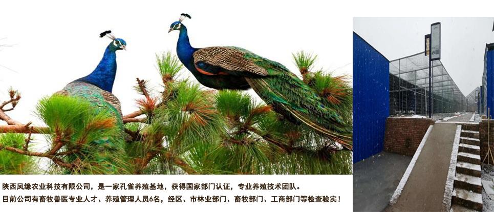 陕西孔雀养殖基地