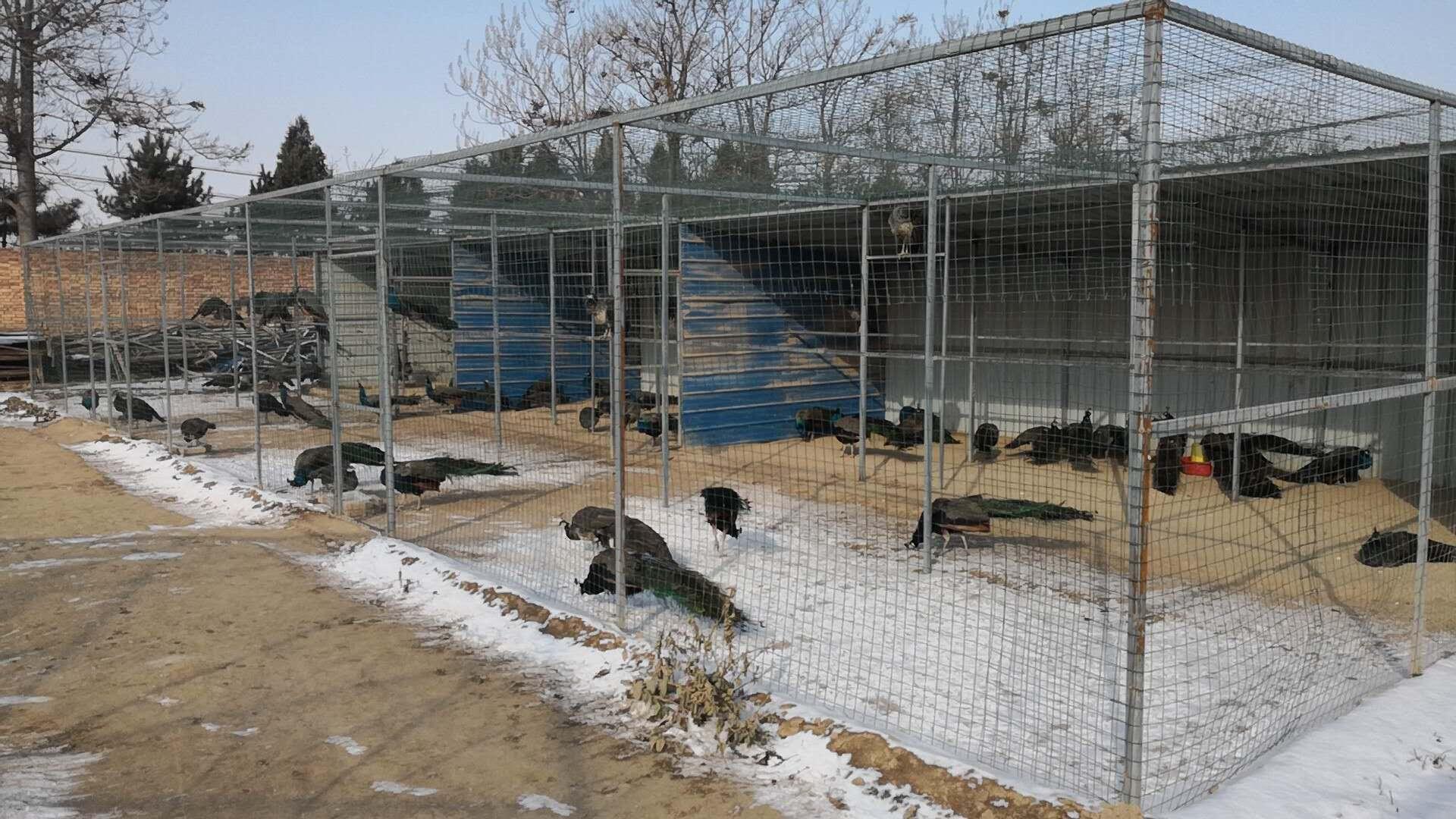 陕西孔雀养殖基地如何做好孔雀苗常见病的预防工作?