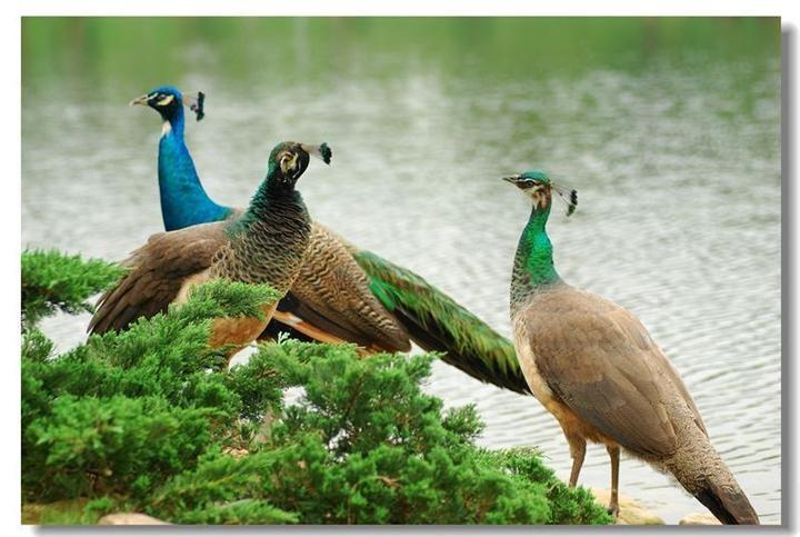 风缘孔雀基地简述孔雀标本制作方法
