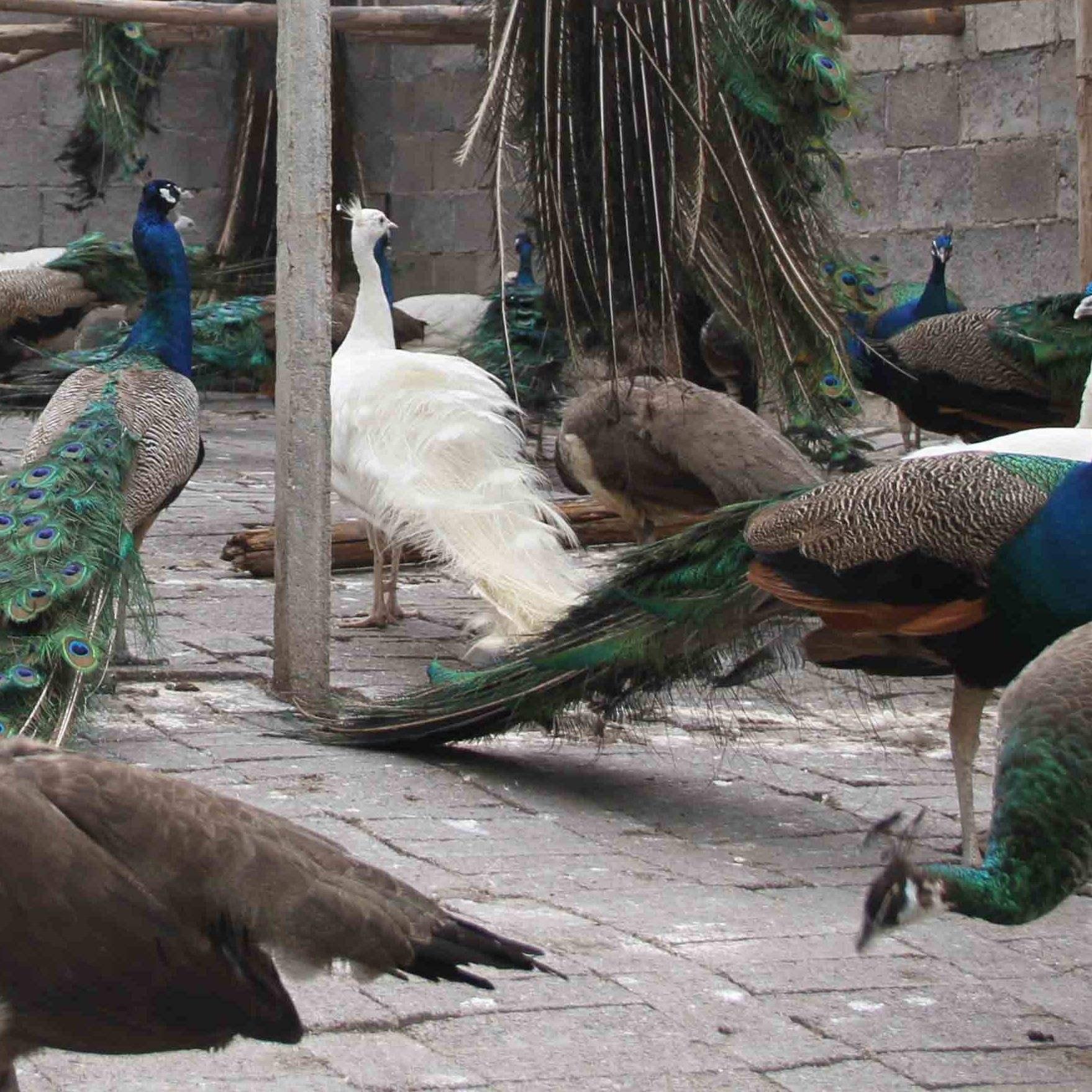 孔雀养殖基地分享:解决孔雀掉毛的方法