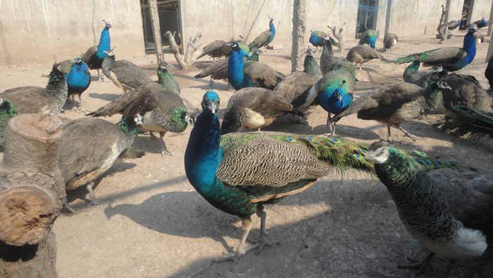 成年孔雀养殖必备的硬性设备