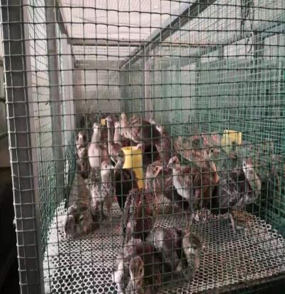 秋冬季成年孔雀养殖要点
