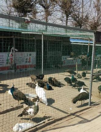 孔雀养殖技术:孔雀蛋的孵化的注意事项