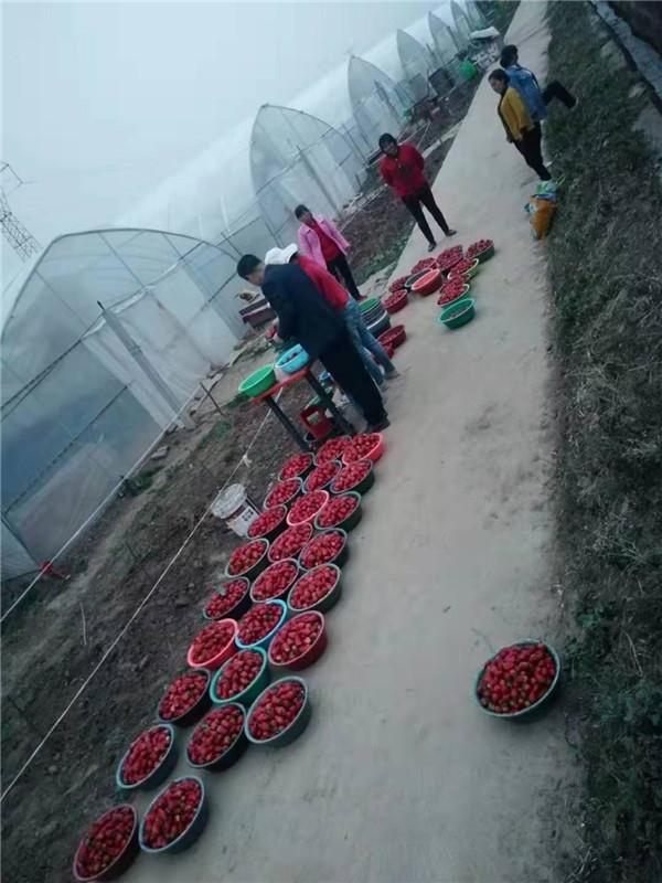 宝鸡草莓大棚