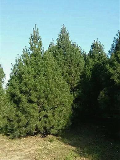 4.5米白皮松树