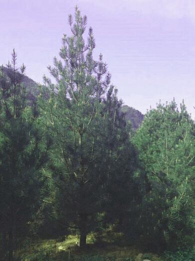 白皮松苗圃