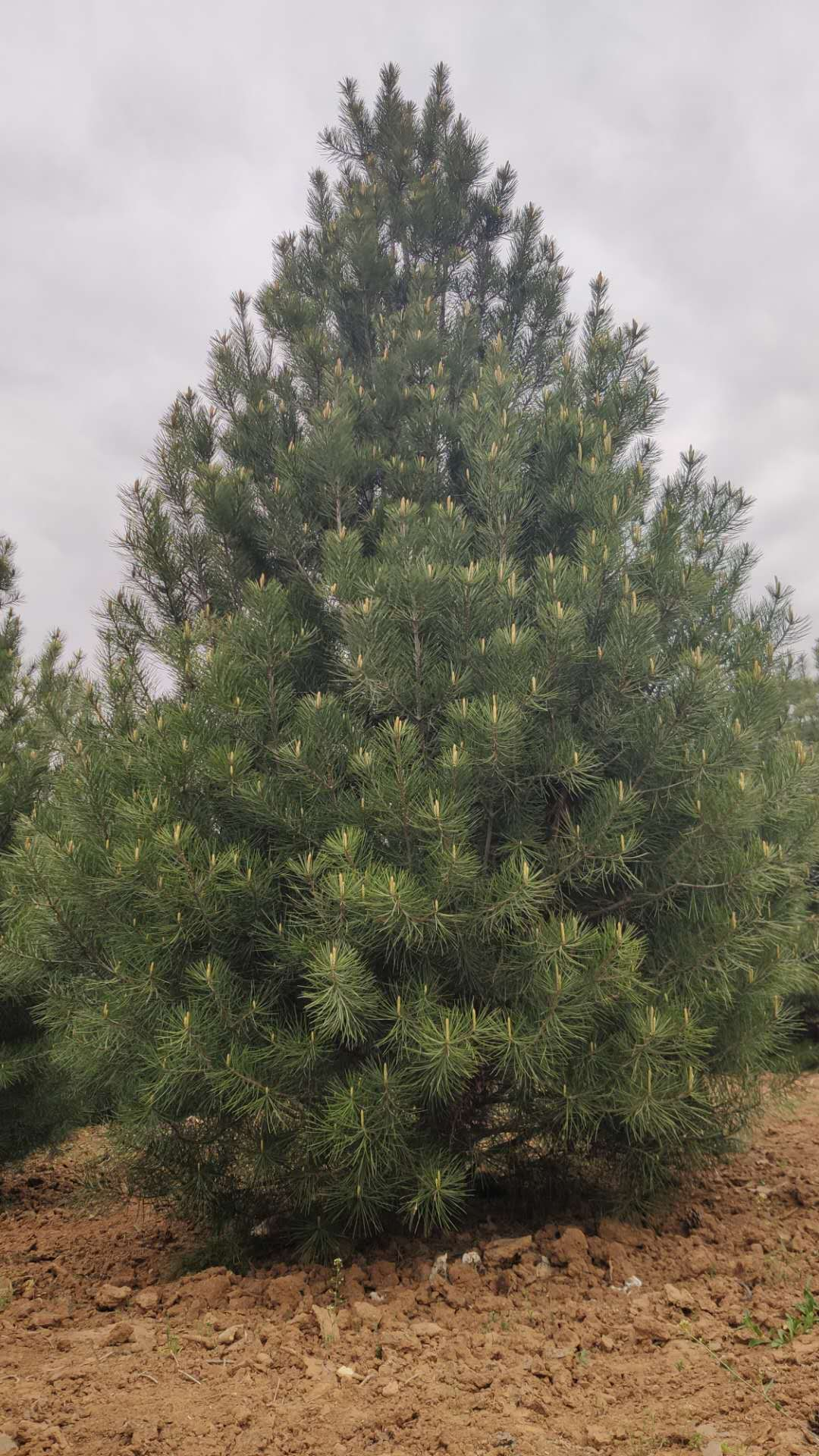 1米蓝田白皮松树