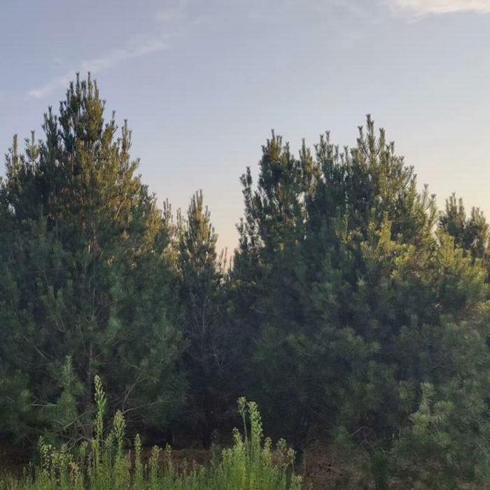 白皮松苗木