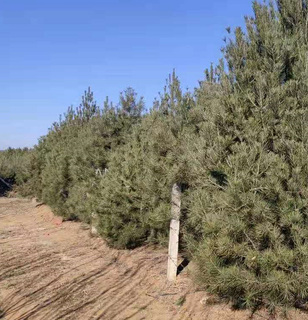 多高的白皮松适合种植在园林新利体育?