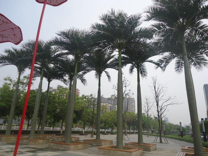 天然大王椰子树