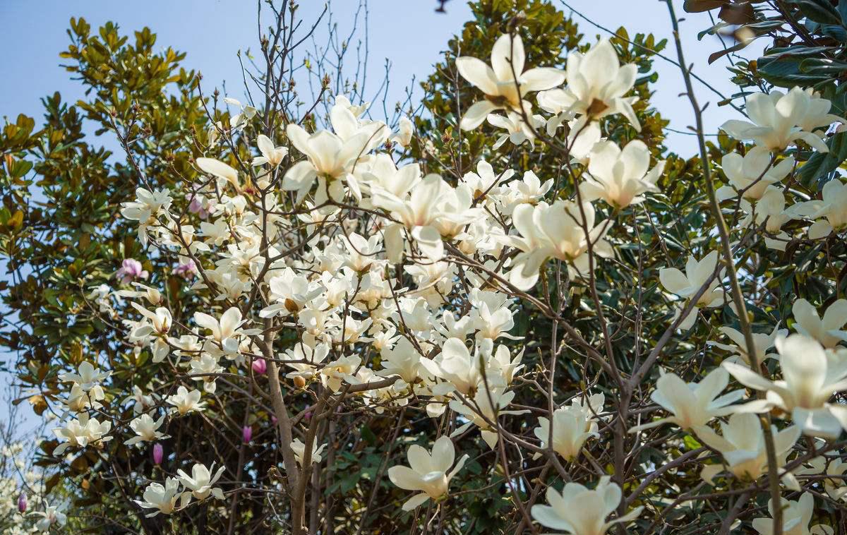 玉兰花假树