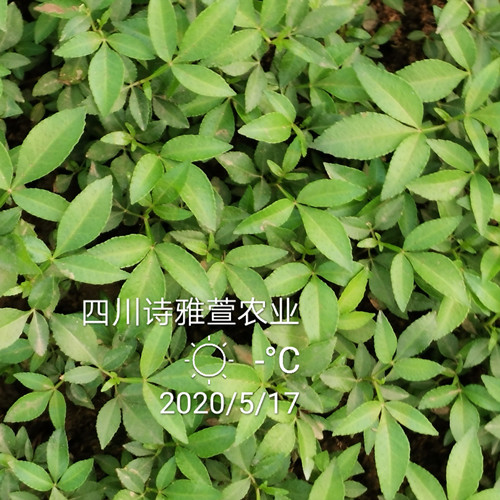 四川藤椒苗种植期间日常管护技术介绍