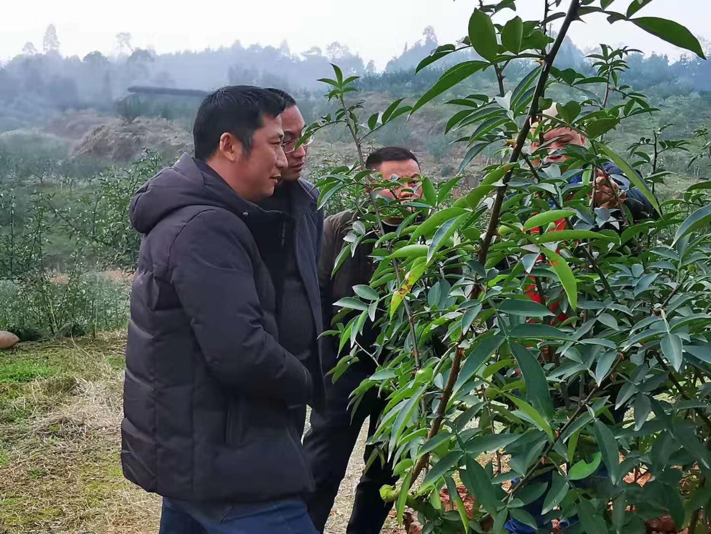 藤椒种植技术