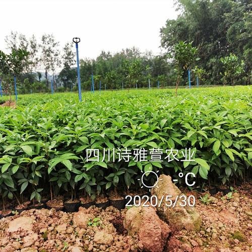 种植藤椒,一亩地的藤椒嫁接苗投入是多少?