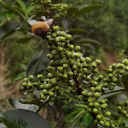 你知道贵州藤椒油不同于花椒油吗?