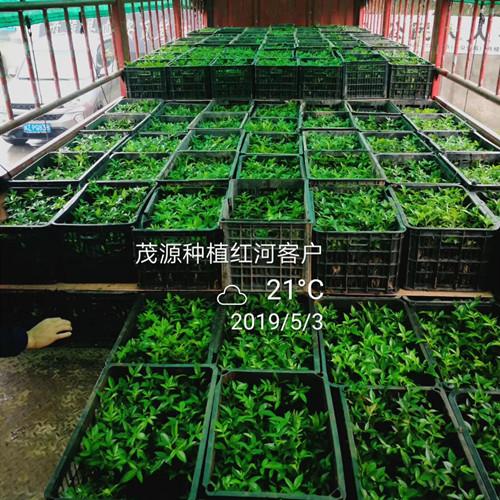 湖南哪里有藤椒苗种植基地,价格怎么样?