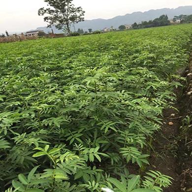 四川藤椒苗种植基地