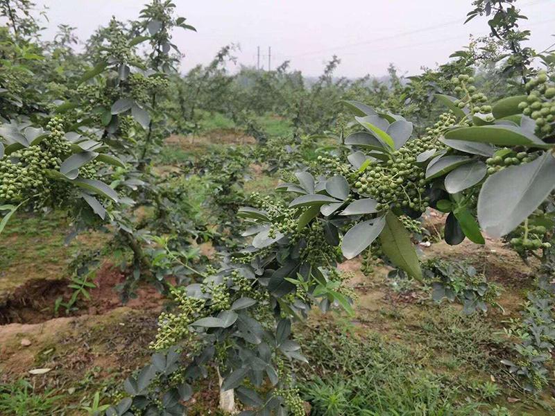 农民藤椒种植每亩利润
