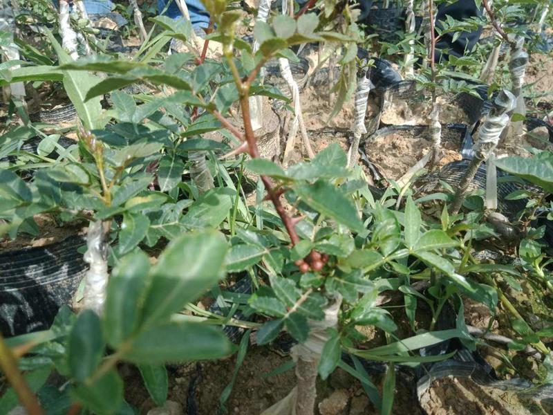 红花椒苗-nx14