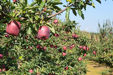 花牛苹果多少钱一斤批发