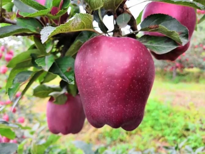 花牛苹果的果蜡怎么清洗?其实没有危害