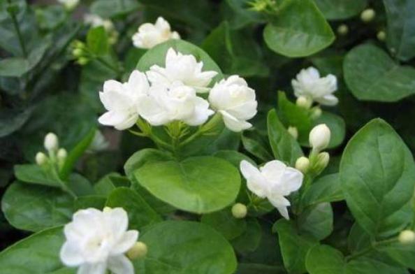 私家花园设计中茉莉花如何进行施肥?